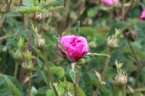 Rosa 'Oeillet Flamand' Gallica 1845