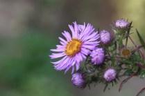 Aster novae-angliae 'Lucinda'