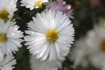 Aster novi-belgii 'Boningale White'