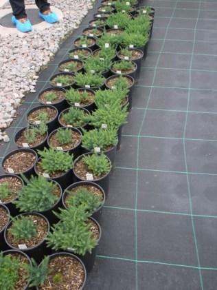 Native Asparagus officinalis subsp. prostratus