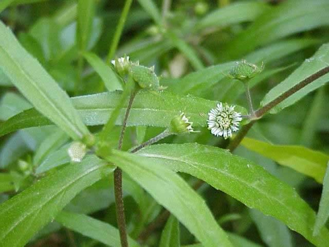 False daisy (Eclipta prostrata)
