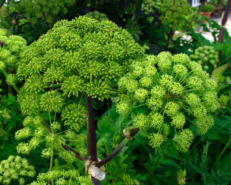 Angelica - Herb garden