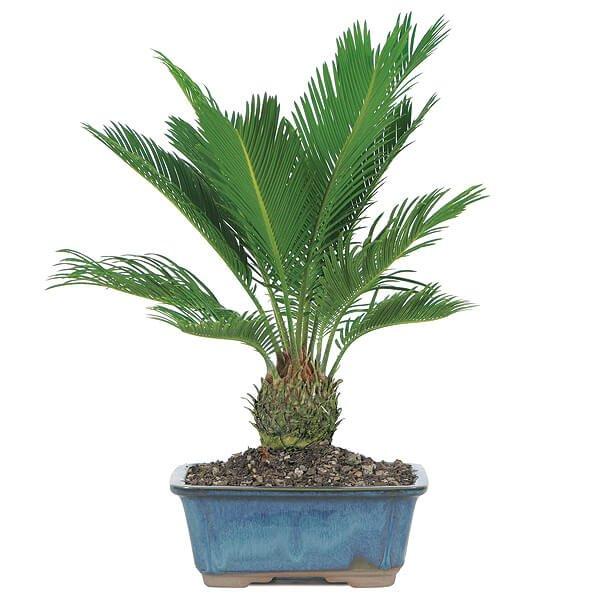 Sago palm - Indoor House Plants