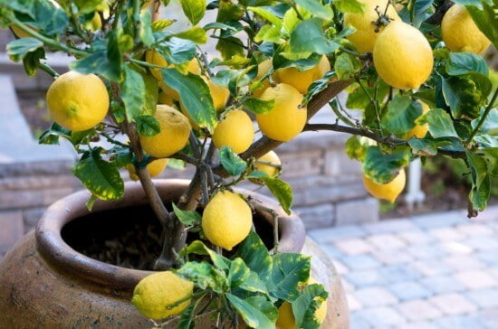 Lemon - Fruit garden