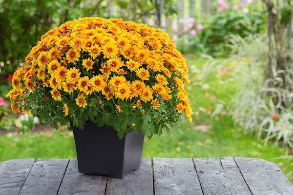 Chrysanthemum morifolium - Indoor House Plants