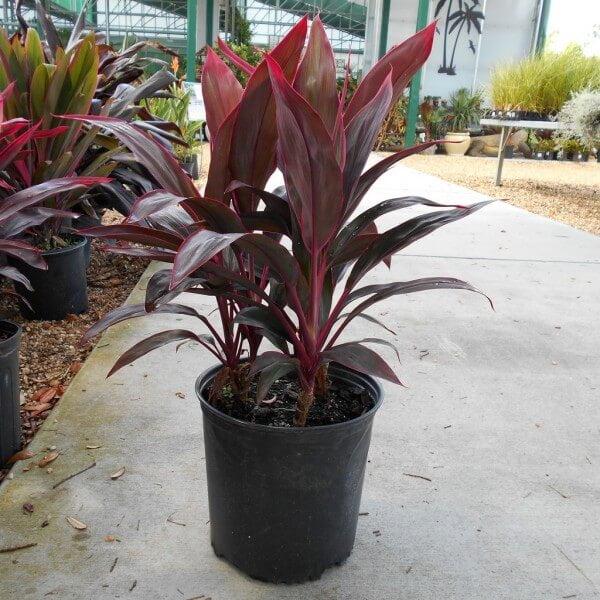 Hawaiian ti plant - Indoor House Plants