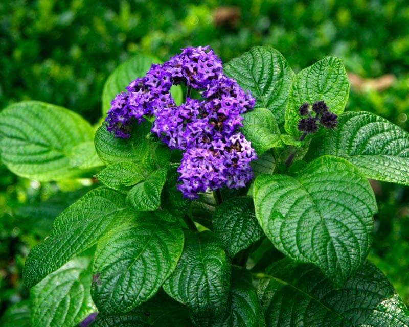 Heliotrope - Flowering plants