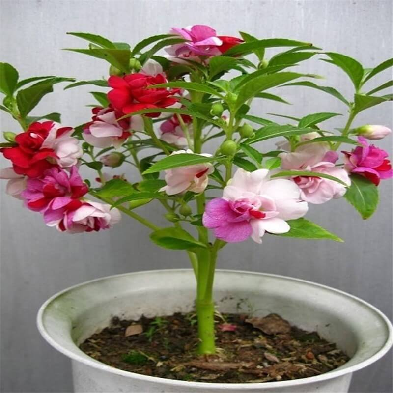 Impatiens balsamina - Indoor House Plants