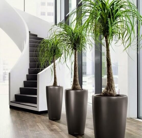 Ponytail palm - Indoor House Plants