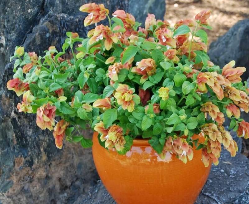 Shrimp plant - Flowering plants