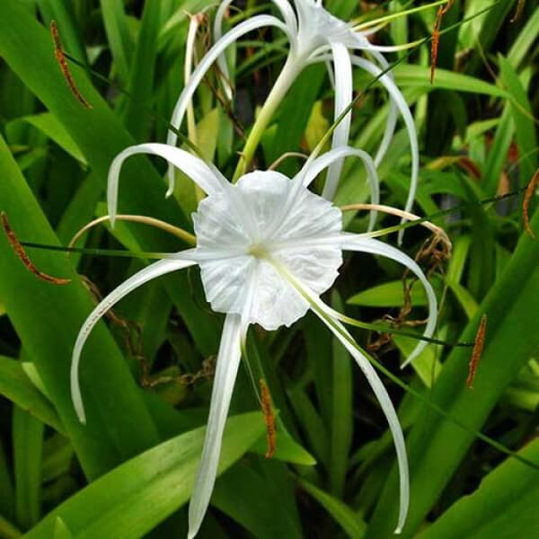 Spider Lily - Flowering plants
