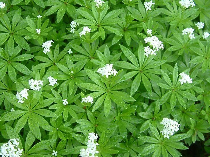 Galium odoratum - Herb garden