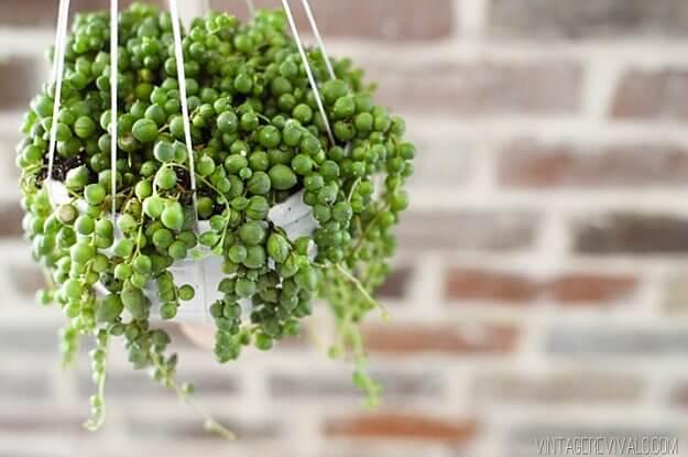 Senecio rowleyanus - Indoor House Plants