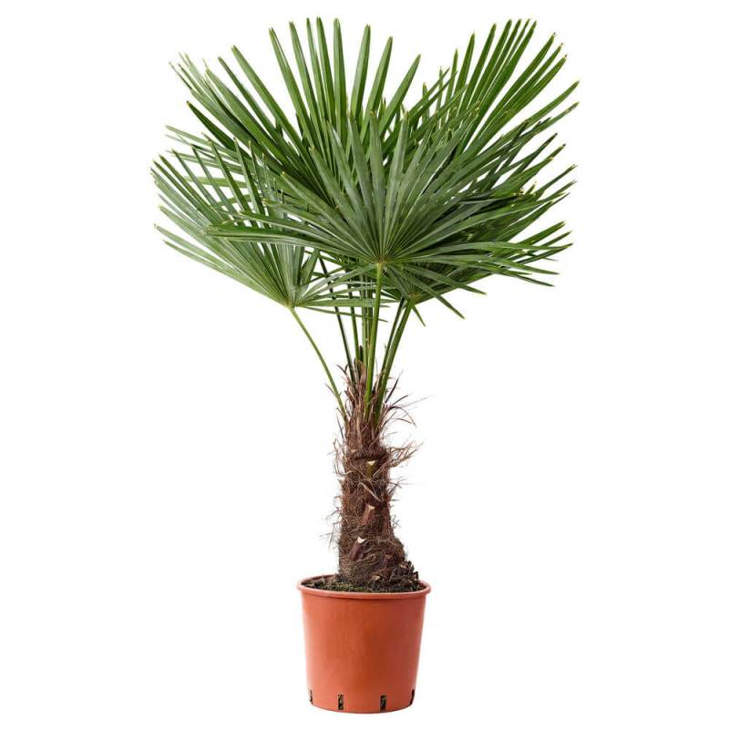 Trachycarpus fortunei - Indoor House Plants