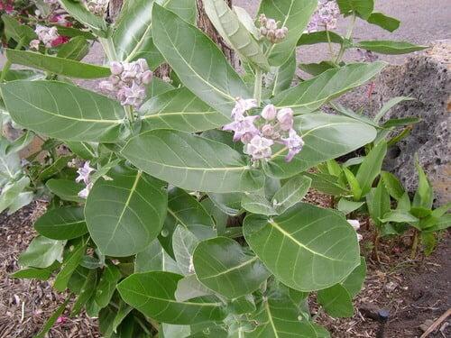 Calotropis gigantea - House Plants
