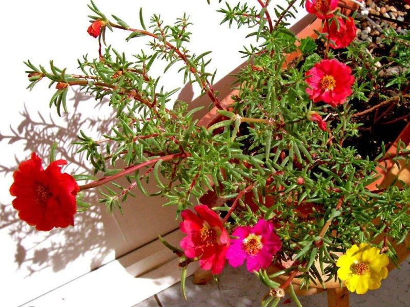 Moss rose - Flowering plants