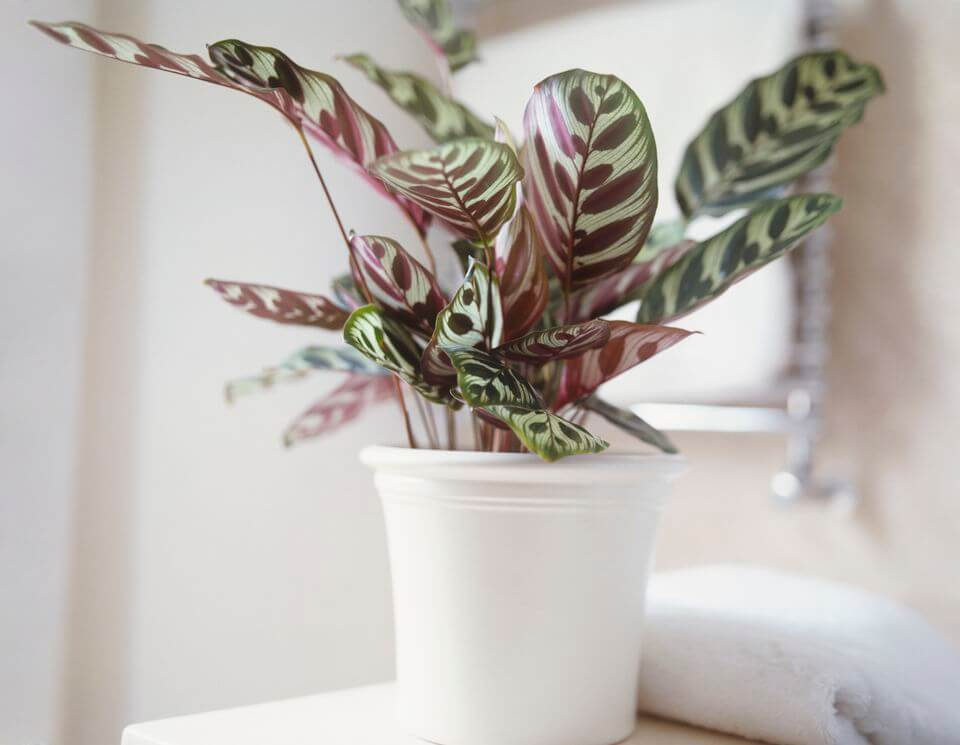 Peacock plant - Indoor House Plants