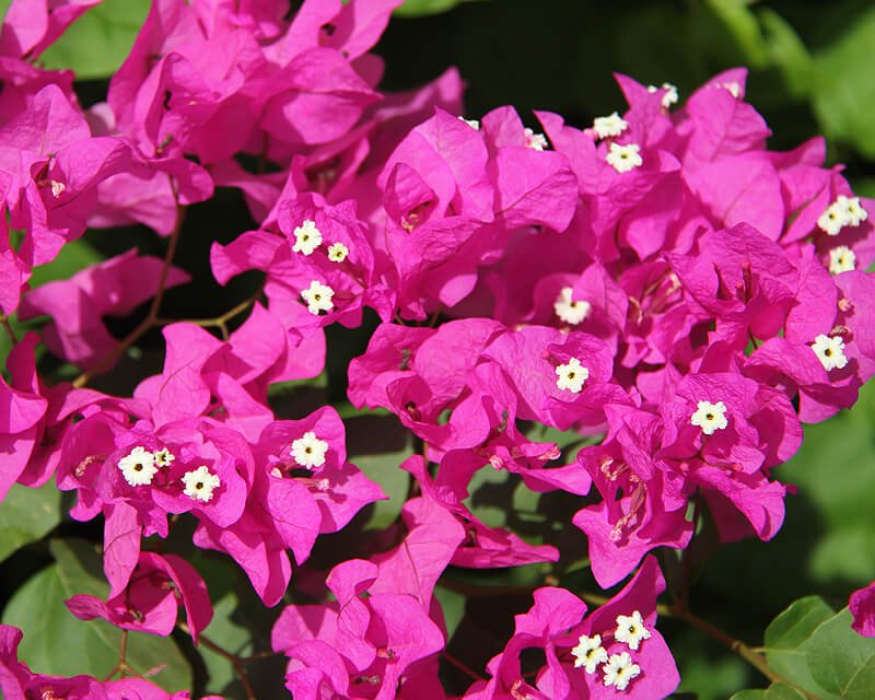 Bougainvillea - House Plants