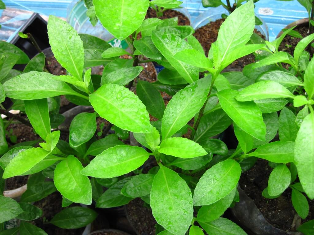 Gynura procumbens - Herb Garden
