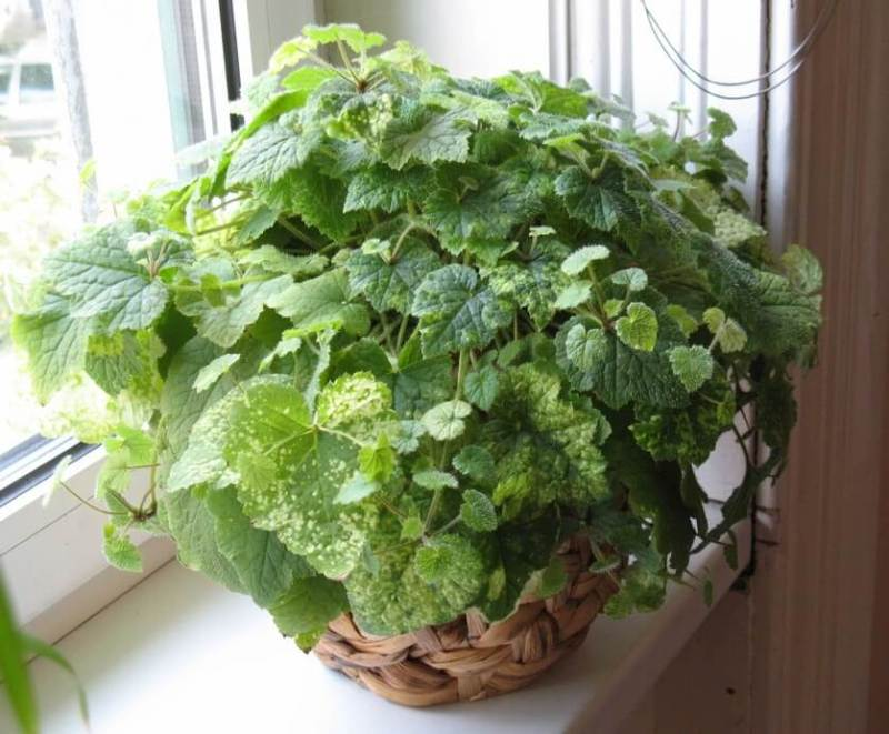 Piggyback plant - House Plants