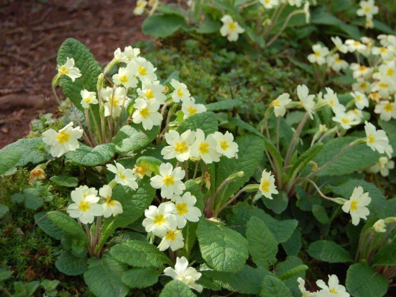 Primrose - Flowering plants