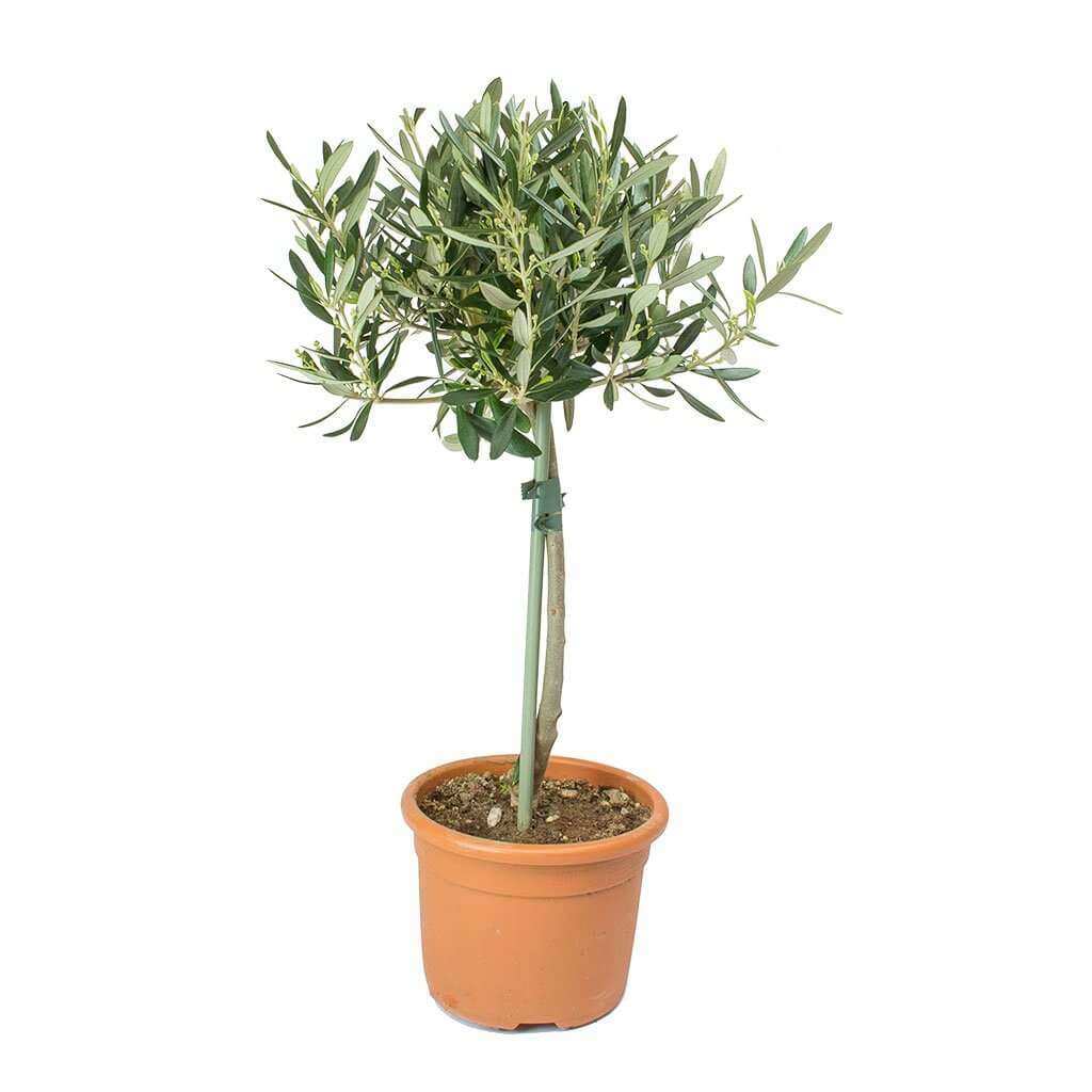 Olive (Olea europaea) - Indoor House Plants