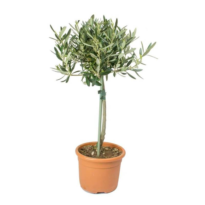 Olive (Olea europaea) - Indoor House Plants