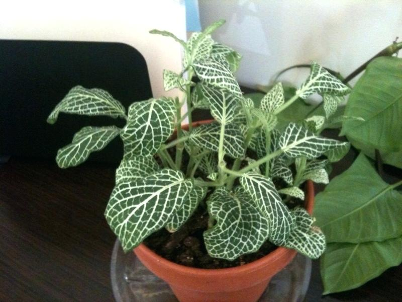 Fittonia plant - Indoor House Plants