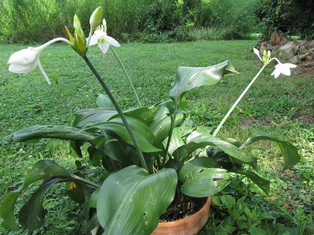 Eucharis × grandiflora (Amazon Lily) - Flowering plants