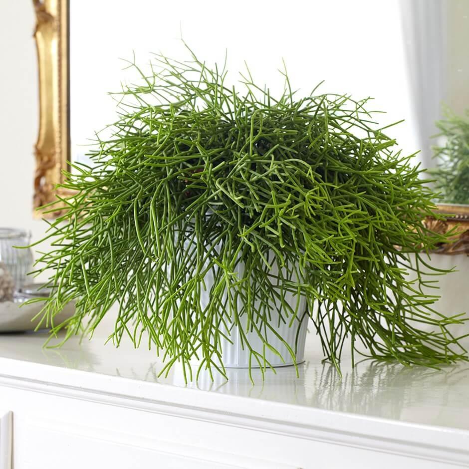 Rhipsalis baccifera (Mistletoe cactus) - Indoor House Plants