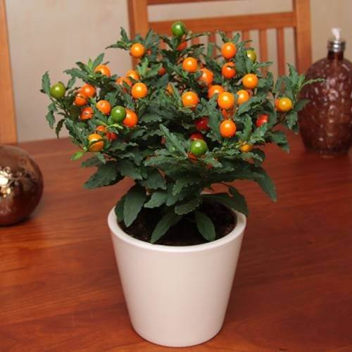 Solanum pseudocapsicum (Christmas Cherry) - Indoor House Plants