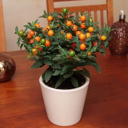 Solanum pseudocapsicum (ChristmasCherry) - Indoor House Plants