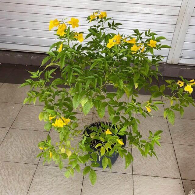 Tecoma stans - Flowering plants