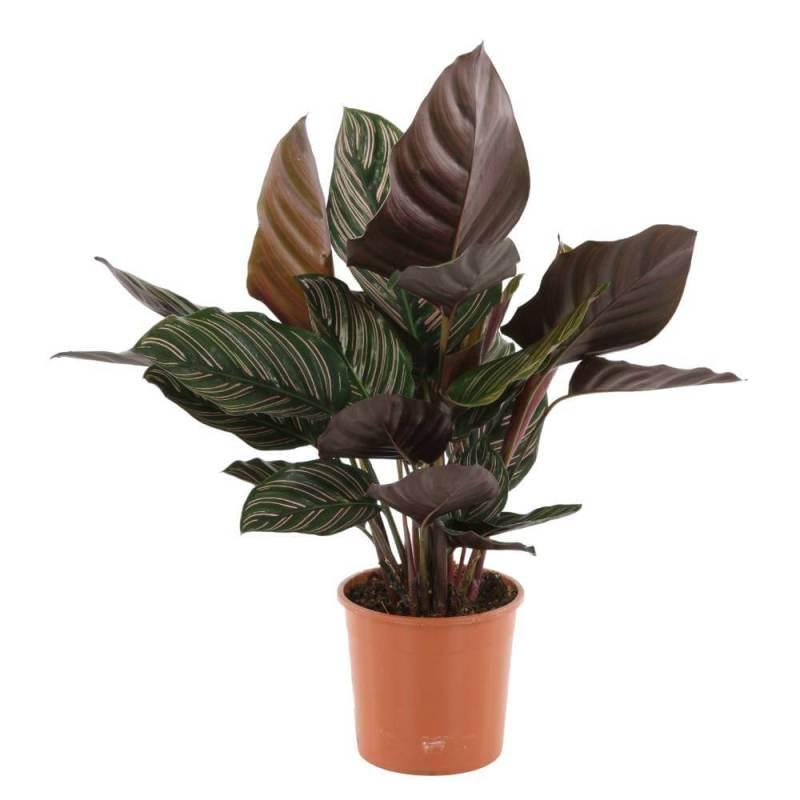 Pin-Stripe Calathea (Calathea ornata Sanderiana) - Indoor House Plants