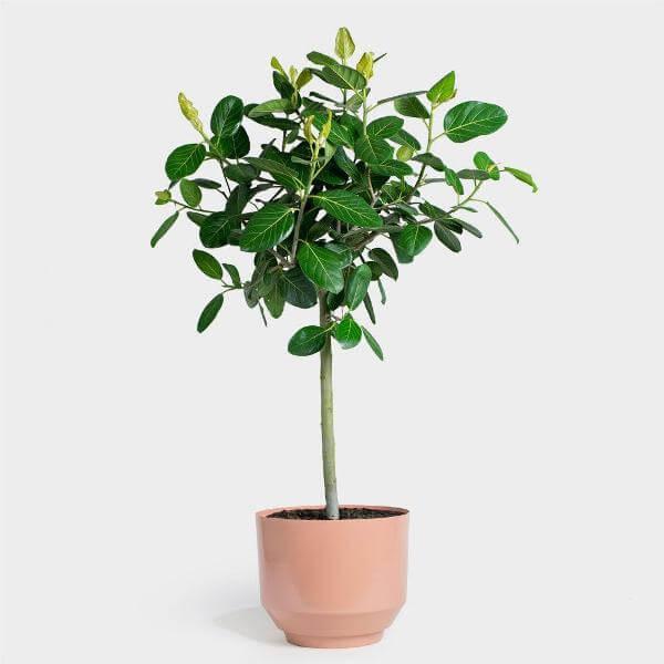 Ficus benghalensis Audrey (Bengal Fig) - Indoor House Plants