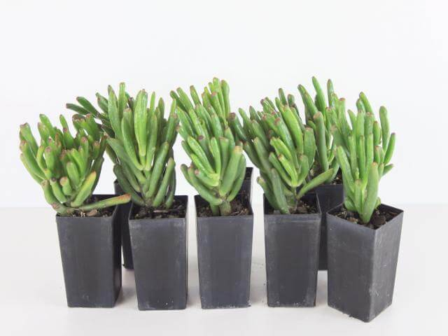 Jade Plant (Crassula ovata Gollum) - Indoor House Plants