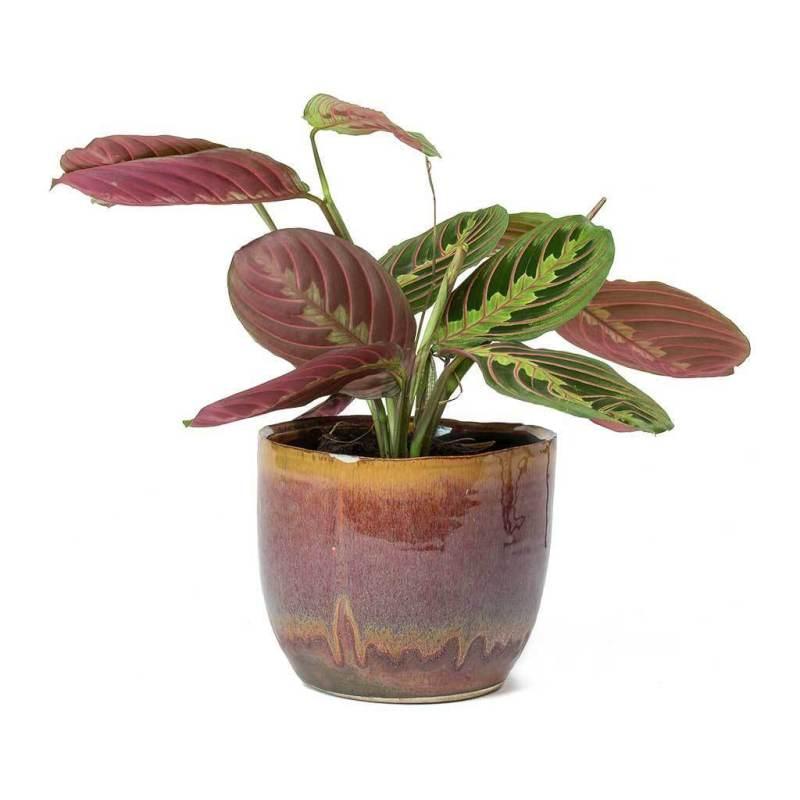 Maranta leuconeura var. erythroneura - Indoor House Plants