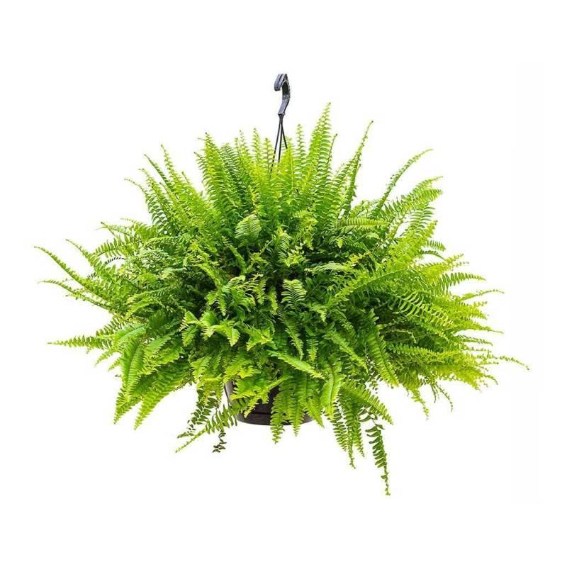 Nephrolepis exaltata Green Lady - Indoor House Plants