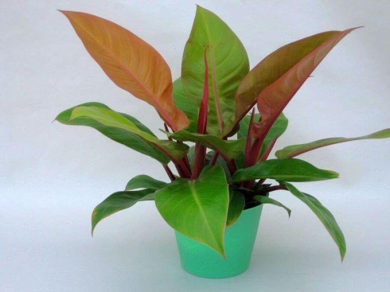 Philodendron Autumn - Indoor Plants