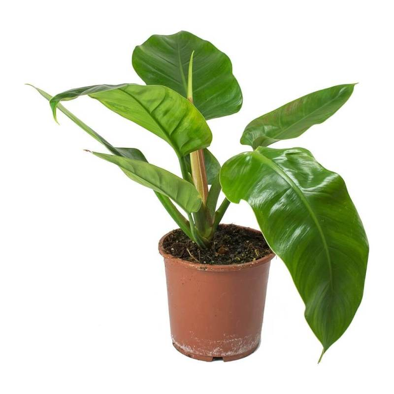 Philodendron Imperial Green - Indoor House Plants