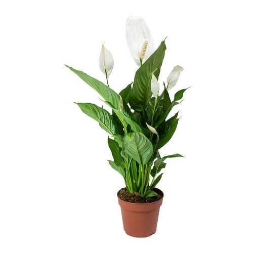 Spathiphyllum wallisii Lima (Peace lily) - Indoor Plants