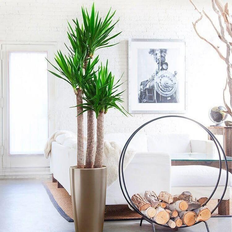 Yucca Plant | Yucca elephantipes - Indoor Plants