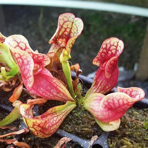 Purple pitcher plant (sarracenia purpurea) - House Plants