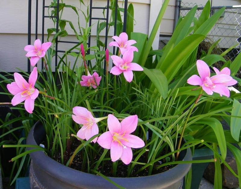 Zephyranthes rosea (Pink rain lily) - Flowering plants