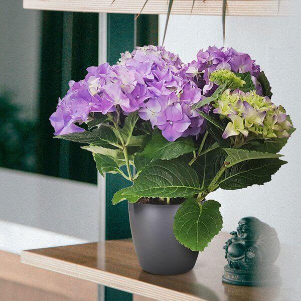 Hydrangea (Hydrangea macrophylla) - Flowering plants
