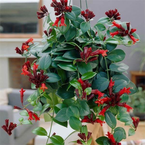 Lipstick Plant (Aeschynanthus lobbianus) - Flowering plants