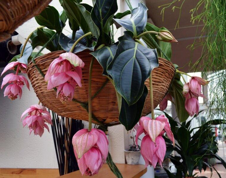 Medinilla magnifica - Flowering plants