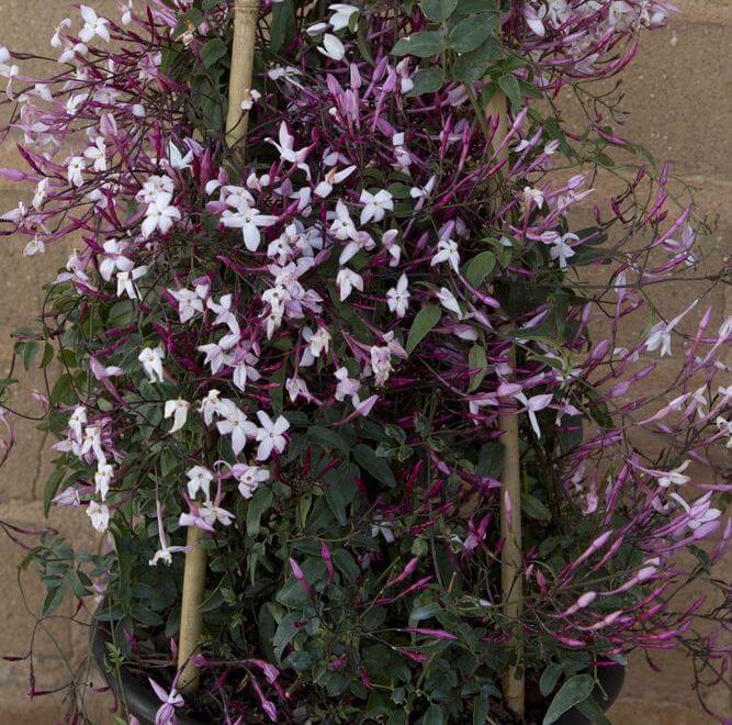 Pink Jasmine (Jasminum polyanthum) - Flowering plants