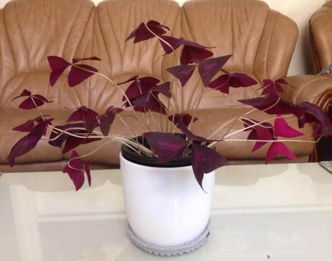 Purple Shamrock (Oxalis regnellii) - Flowering plants
