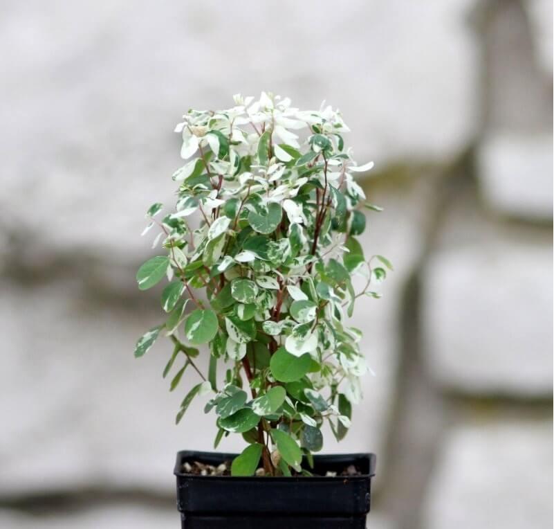 Snow Bush (Breynia nivosa) - Indoor Plants